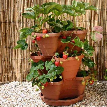 Even Someone Without A Yard Can Grow Strawberries Easily In Hanging Baskets Specially Made Pots With Openings For The Leaves And Runners Or Carefully